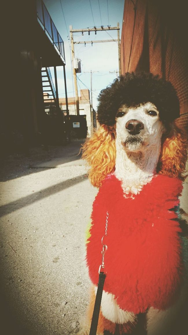 Poodle Dogs Of EyeEm
