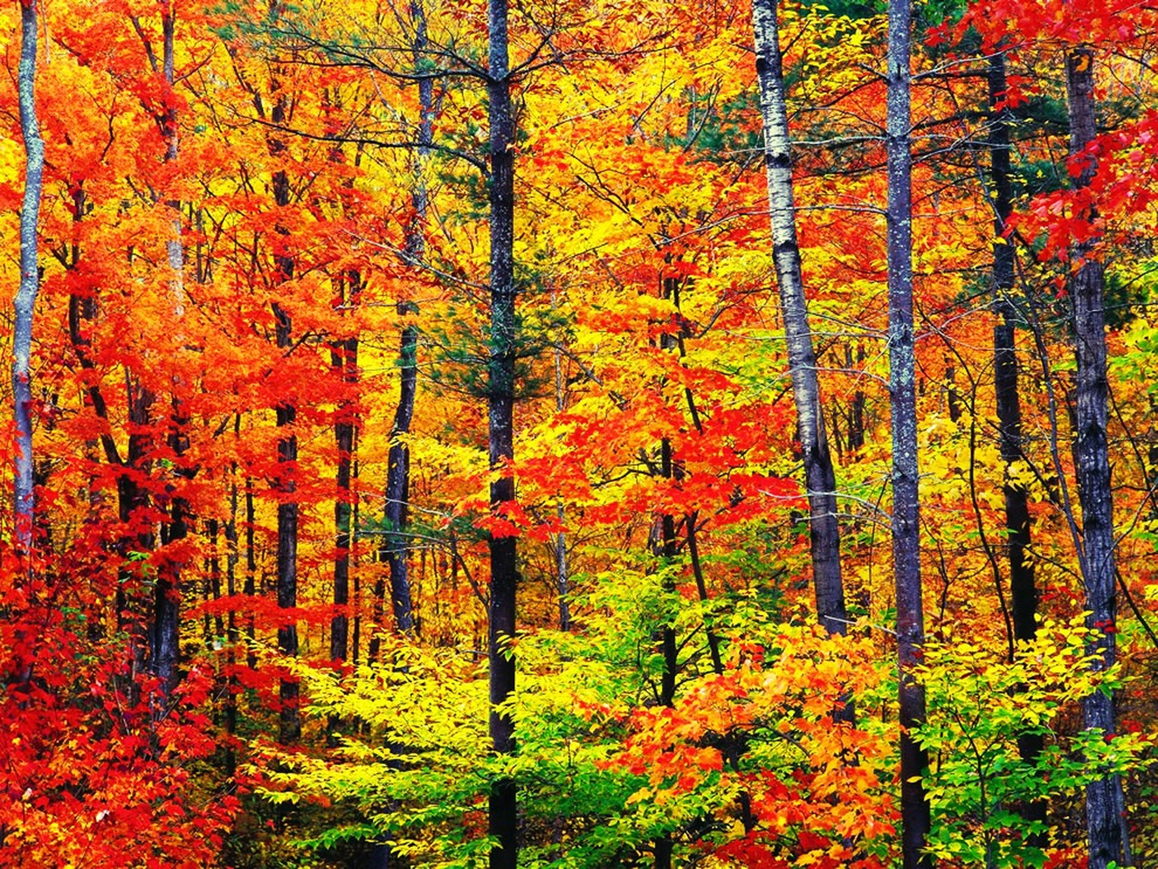 tree, autumn, change, orange color, growth, forest, beauty in nature, season, tranquility, nature, tranquil scene, scenics, red, woodland, branch, lush foliage, tree trunk, non-urban scene, idyllic, yellow