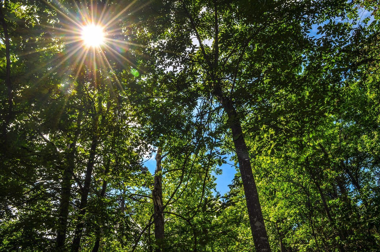 tree, nature, sunbeam, sunlight, sun, lens flare, low angle view, forest, growth, beauty in nature, no people, outdoors, green color, tranquility, day, scenics, tree trunk, branch, sky