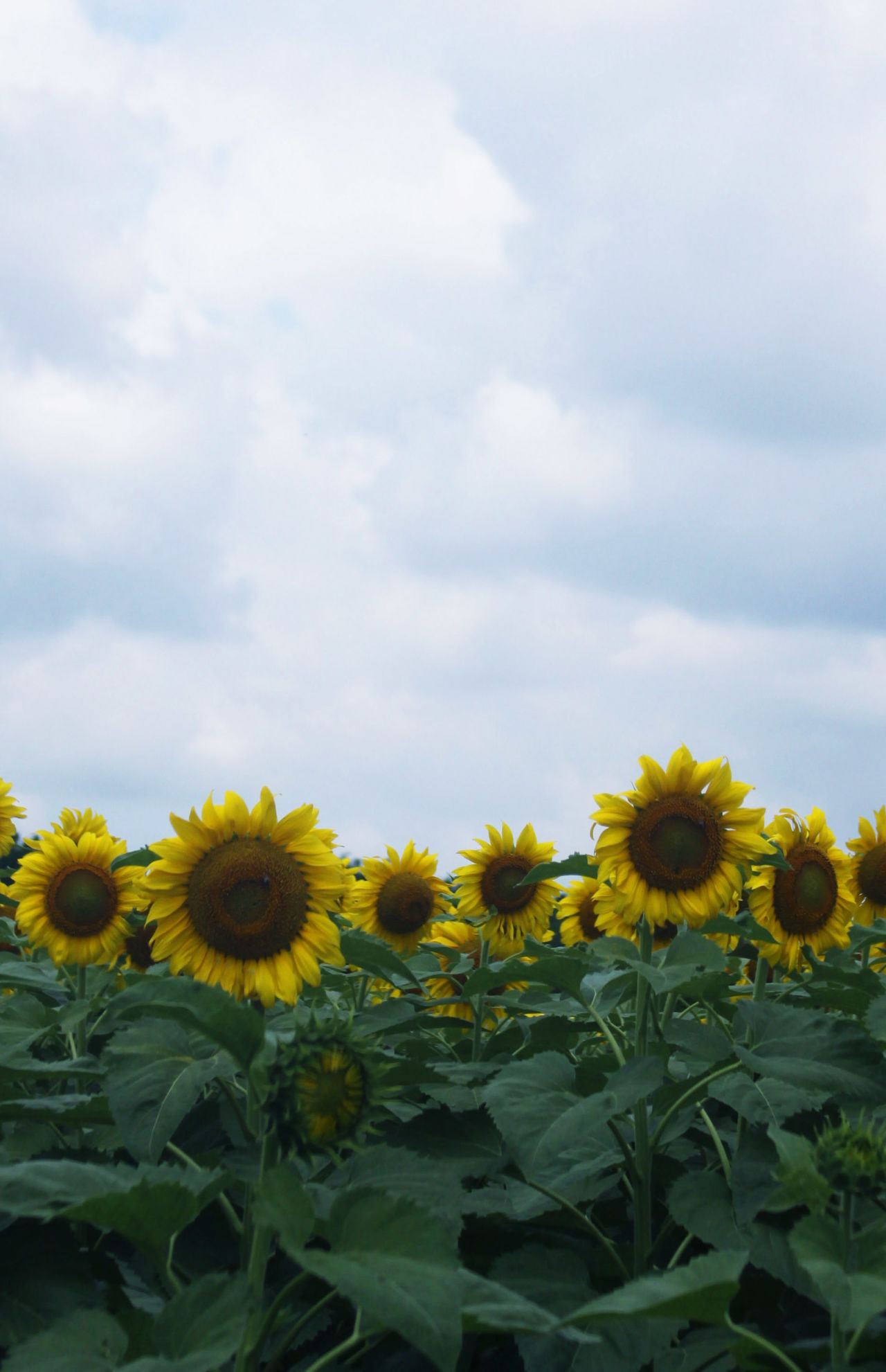 Beautiful stock photos of sunflower, Freshness, beauty In Nature, bloom, blossom
