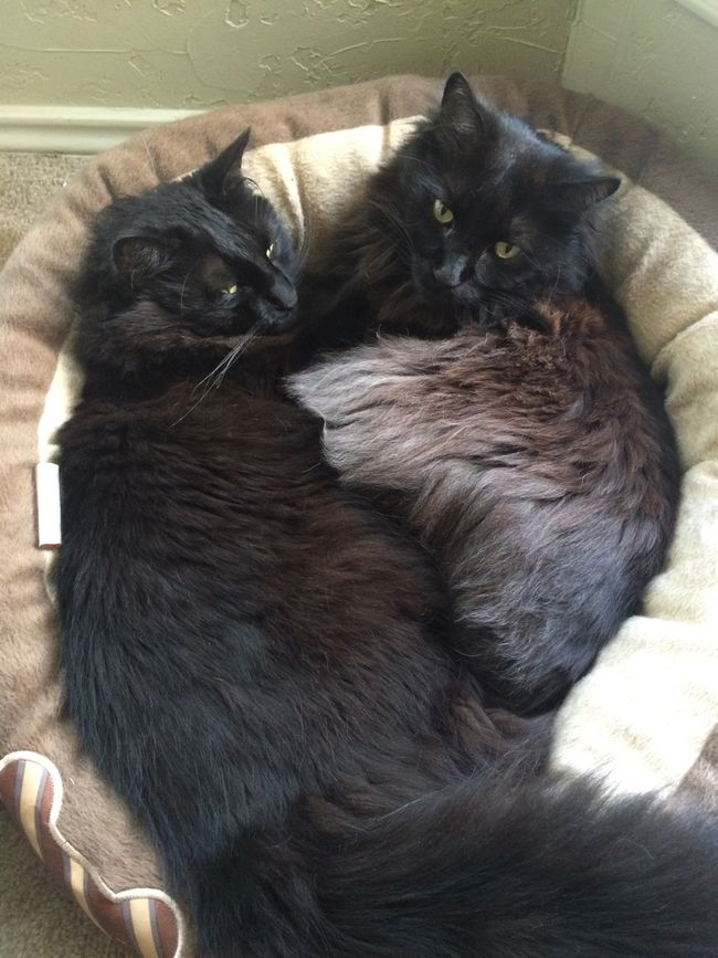 Fluffy Cuddles Animal Animal Head  Animal Themes Black Black Cats Black Cats Are Beautiful Black Color Close-up Cuddlebuddies Domestic Animals Domestic Cat Feline Home Mammal No People Pets Relaxation Resting Whisker Young Animal