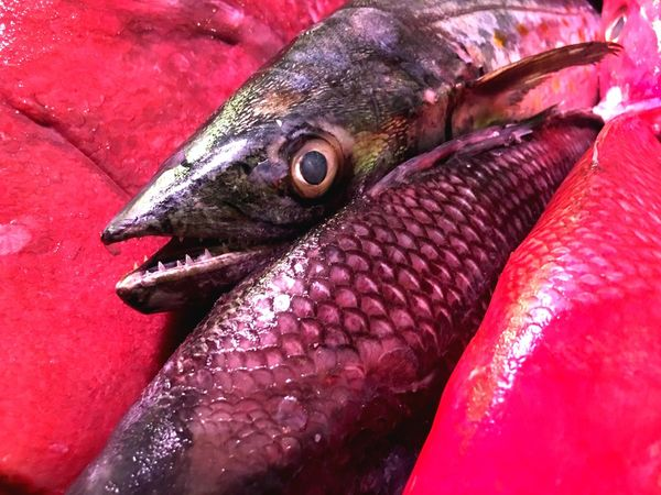 Theeth Fish Seafood Food And Drink No People Red Close-up Animal Themes Food One Animal Day Outdoors Freshness Animals In The Wild Healthy Eating
