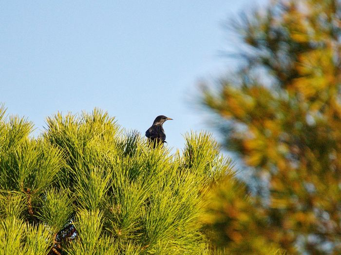 Estornino Pajaro Bird Nature Naturaleza Aragón Pinos