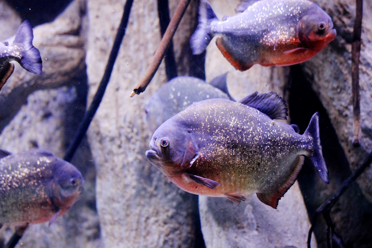 Fish Animal Themes Aquarium Underwater Piranhas Close-up Fish Killer Lethalcreation Nature Collection Nature Photography Eyeem Fish