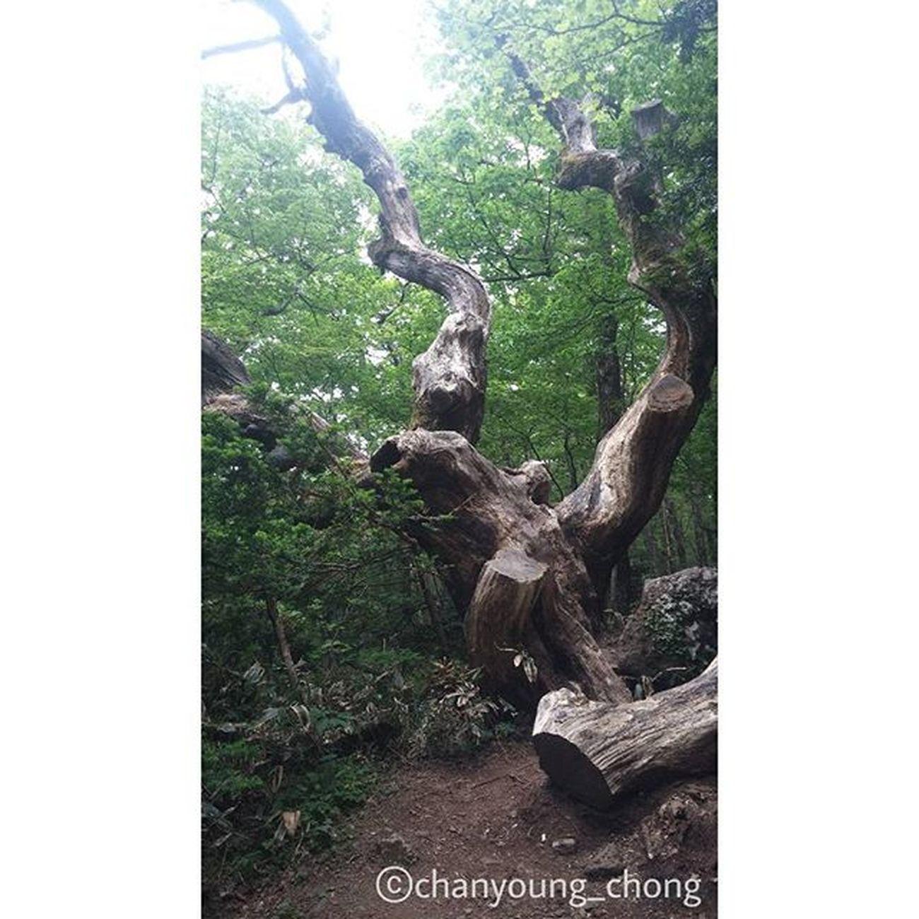 개인적으로 좋아하는 사진. 이 사진을 보고있자니 어떠한 느낌을 받는 것 같아서 좋다. 느낌있는 사진이랄까😏 대한민국 제주도 제주 나무 한라산  오름 여행 사진 Korea Jejuisland Jeju Tree Moutain Hanra Orum Travel Travelgram Photo