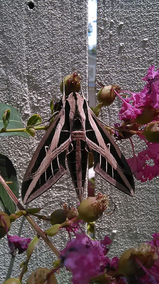 Look at this Bug Large Moth Check This Out Nofilternoedit Crazynature