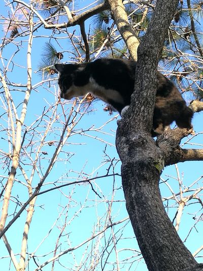 Calico Cat Branch Low Angle View Tree Nature Animals In The Wild Animal Wildlife No People Sky Love Cat Cute Cat Blue Sky Scenics Tree Trunk Bare Tree Animal Themes Outdoors Day One Animal Feline Domestic Cat