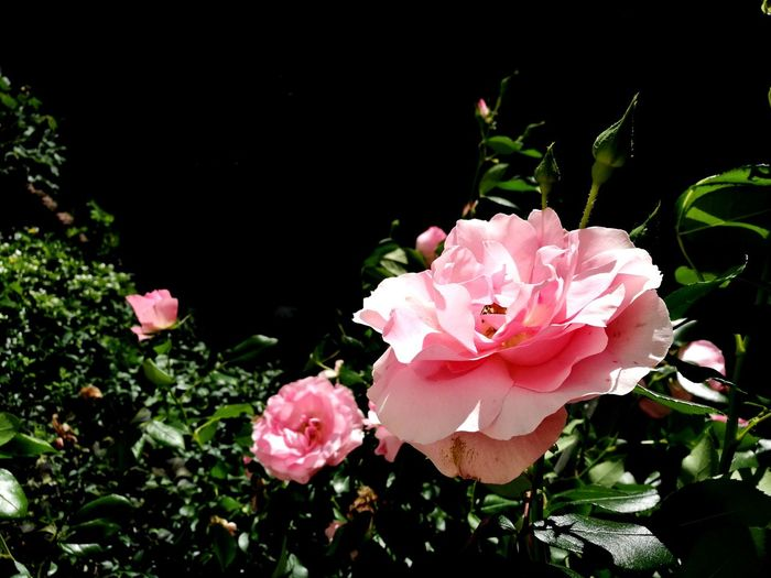 Rose🌹 Flower Nature Pink Color Beauty