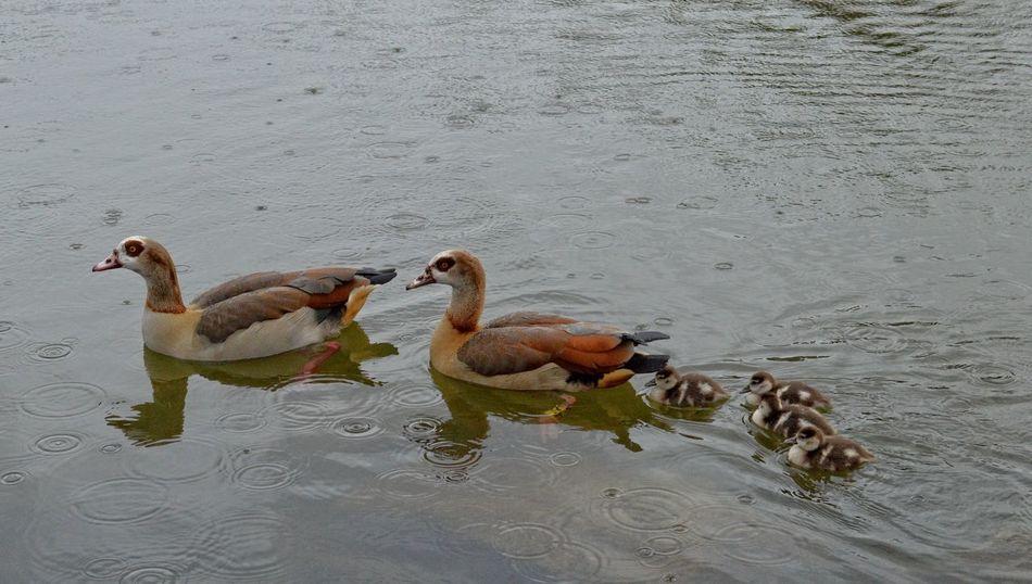 Animal Themes Animals In The Wild Bird Chickens Nijlgans Nile Goose Nile Goose Chick One Animal Swimming Water Wildlife