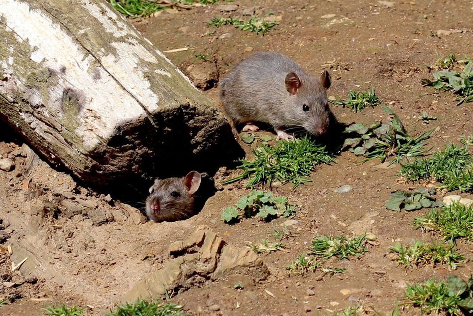 Beautiful stock photos of rat, , Animal Den, Animal Themes, Animals In The Wild