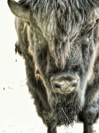 Close-up One Animal No People Animal Themes Nature Photography Nature_collection Landscape_collection EyeEmNatureLover Nature Collection Beauty In Nature Bison Bison, Buffalo, Blackbirds, Wyoming, Wild, Animal, Horns, Fur, Raw, Bison Trail Bison In Winter Portrait Portrait Photography Pet Portraits