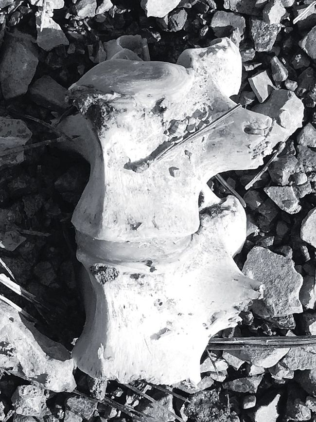 Animal Bones Bones Rock - Object EyeEm Bnw Blackandwhite Portrait Pattern, Texture, Shape And Form Iphonephotography Creative Light And Shadow Patterns In Nature Artistic Expression Eye4photography  B&W Portrait IPhoneographer Check This Out