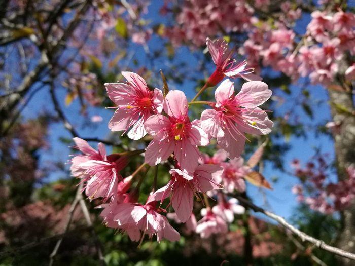 พญาเสือโคร่ง Himalayan Cherry Blossom Thai Sakura Beauty In Nature Flower Head Petal