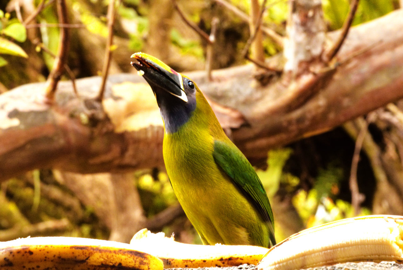 Animal Themes Animal Wildlife Animals In The Wild Bird Branch Central America Close-up Costa Rica Day Green Jungle Nature No People One Animal Outdoors Perching Rainforest Tree Tucan Wild Wildlife Yellow