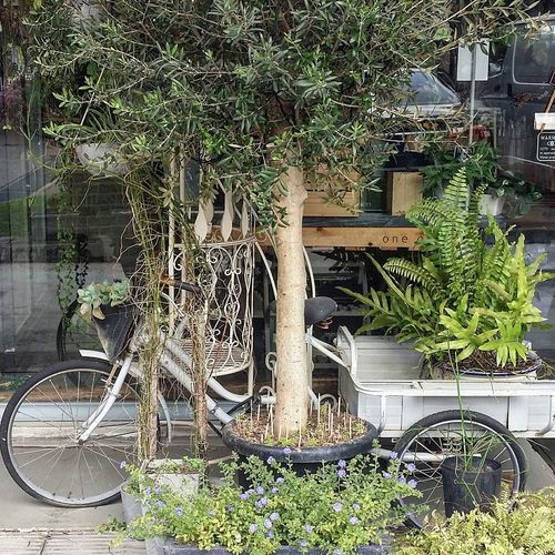 One Olive Charming Florist Plants Tree Flowers Tiong Bahru Singapore