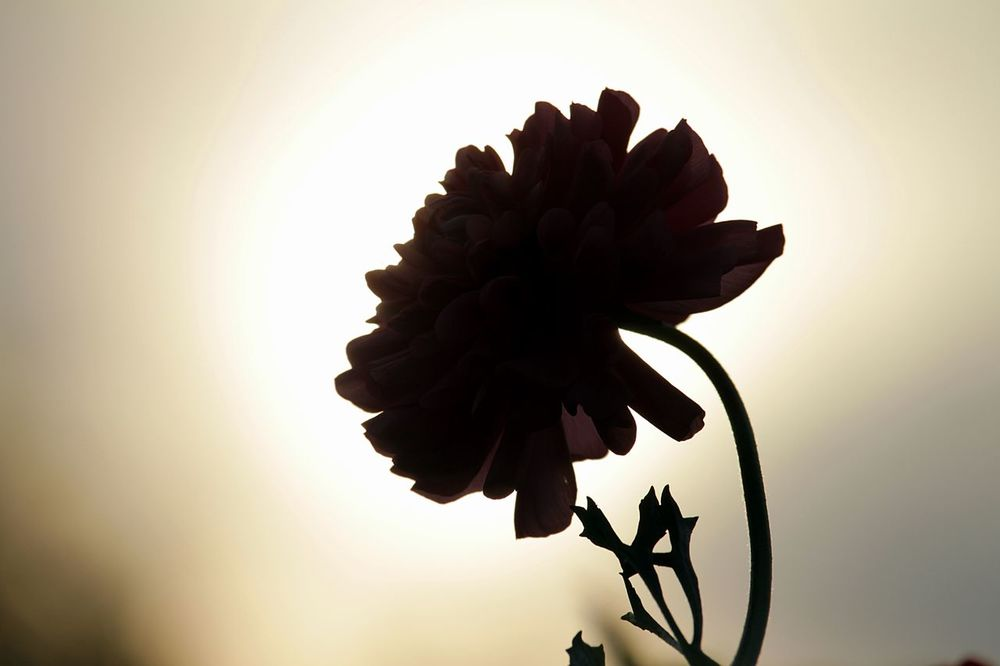 Aura Backlighting Backlighting Photography Beauty In Nature Close-up Day Flower Flower Head Fragility Freshness Growth Nature No People Outdoors Petal Plant Ranunculus Ranunculus Flower Sky Sunset Tree EyeEmNewHere Neon Life EyeEm Selects