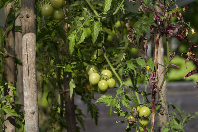 Agriculture Close-up Farming Focus On Foreground Food Freshness Garden Garden Fruits Garden Photography Green Color Green Fruits Green Tomatoes Growth Hanging Season  Tomato Tomatoes Tomatoes Up Close Vegetable Garden Vegetables Vegetarian Food Vegetation
