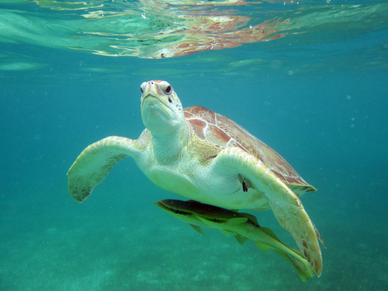 Beautiful stock photos of turtle, Animal Themes, Close-Up, Fish, Front View