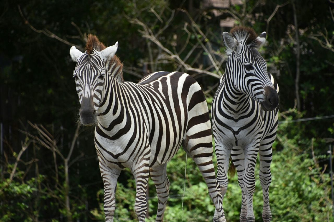 Front View Of Zebra In Forest