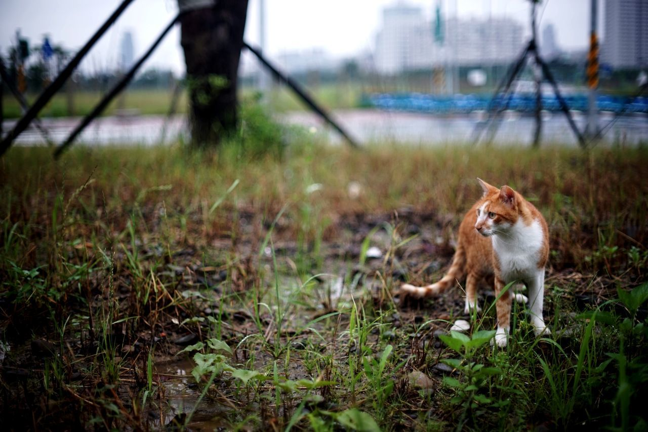 Animal Wildlife Animals In The Wild One Animal Nature Animal Themes Grass 街貓 The Great Outdoors - 2017 EyeEm Awards Animals In The Wild Ginger Cat Katze Outdoors Feline Mammal Domestic Animals Rainy Season Naturelovers