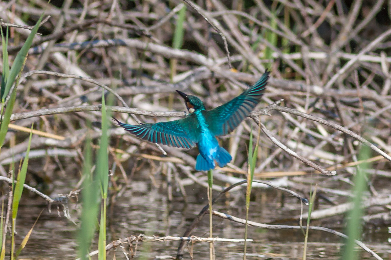 one animal, spread wings, bird, animal themes, flying, animals in the wild, mid-air, animal wildlife, nature, kingfisher, focus on foreground, day, beauty in nature, no people, outdoors, full length, close-up