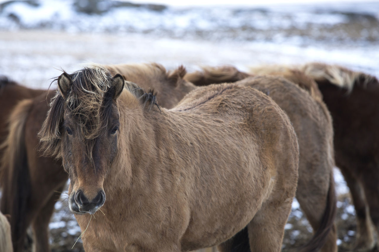 Animal Themes Brown Close-up Day Domestic Animals Focus On Foreground Iceland Icelandic Horse Mammal Nature No People One Animal Outdoors Water