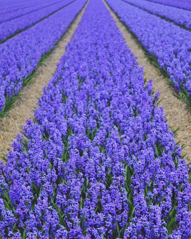 I got the blues Springtime Hello World Enjoying Life Naturelovers Holland Flowers Flower Collection Flowers, Nature And Beauty Lisse  Keukenhof Travel Photography Fresh on Market April 2016 Colors