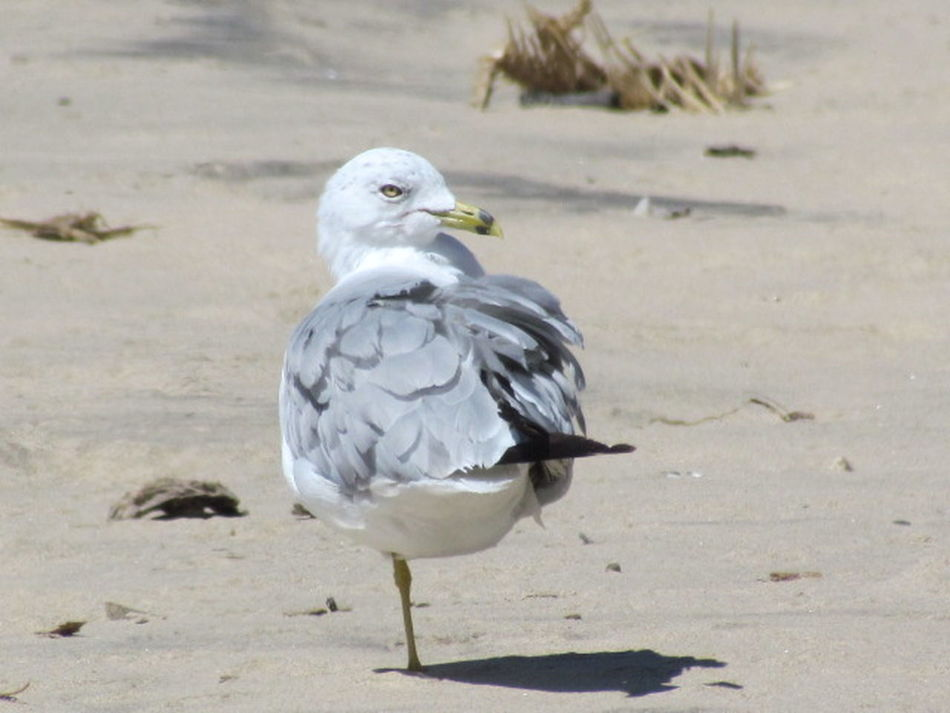 I saw this one-legged Seagull when walking the beach on Lake Michigan. Likely lost it in a trap or fishing nets. He overcame adversity and found a way to balance. Nature gives us many lessons if we only pay attention. Adversity Animal Themes Animals In The Wild Balance Beak Bird Day Effectsoffishnets Full Length LessonsFromNature Nature One Animal Onelegged Oneleggedseagull Outdoors Overcomingadversity Perching Protect Wildlife Protectwildlife Relaxation Relaxing Seagull Side View Wildlife Zoology