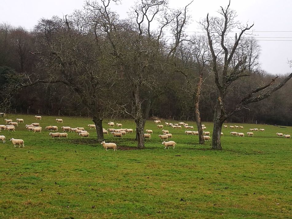 Tree Nature Green Color Growth Grass No People Tranquility Beauty In Nature Day Outdoors Landscape Lush - Description Sky sheep