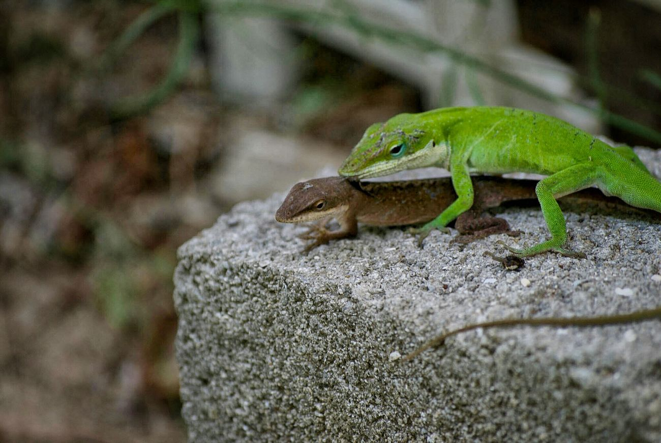 The act of reproduction. Lizard Lizards Lizard Nature Lizardlife Mating Reptiles Reptile Photography
