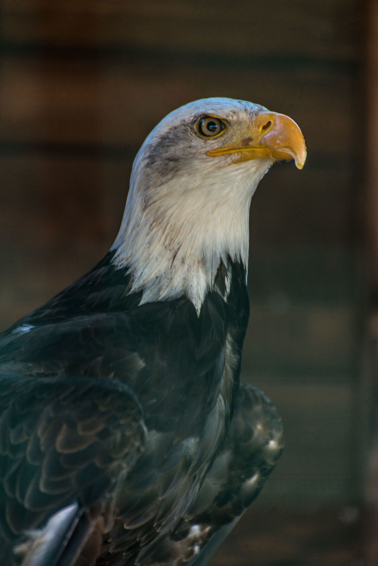 sea eagle bird Animal Body Part Animal Head  Animal Themes Avian Beak Beauty In Nature Bird Bird Of Prey Close-up Day Eagle Eagle Portrait Feather  Focus On Foreground Nature No People Outdoors Owl Portrait Sea Sea Eagle Selective Focus Wildlife