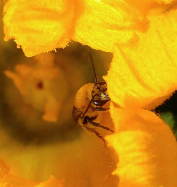 Squash Bee Bee Squash Blossom. Macro Nature_collection