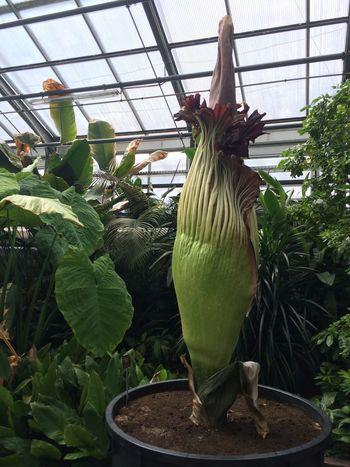 Gigantic Flower Titan Wurtz Titanen Wurtz