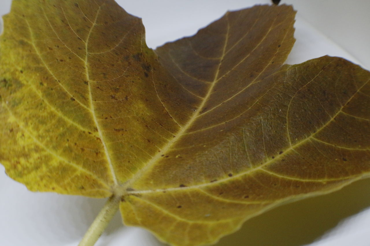 leaf, close-up, nature, day, no people, change, fragility, autumn, outdoors, beauty in nature, maple, freshness