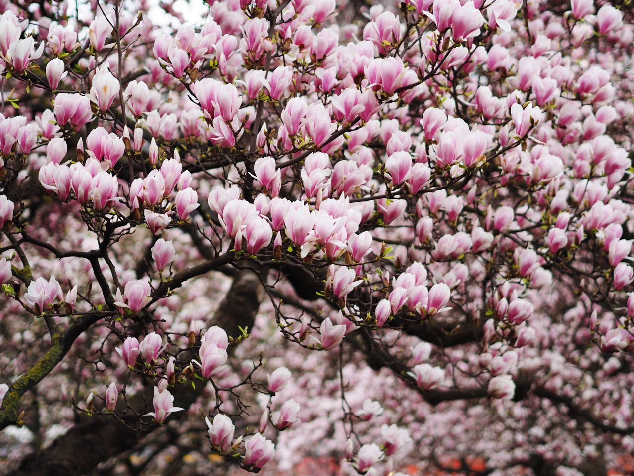 Beautiful stock photos of magnolie, Magnolia, abundance, backgrounds, beauty In Nature