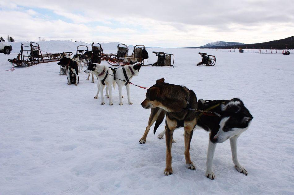 Snow Sports Animal Themes Sledge Dog Snow Winter Cold Temperature Sweden Kiruna Snow Sports