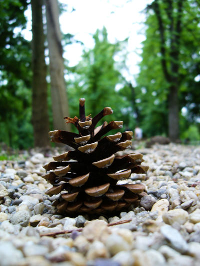 Acorn Beauty In Nature Close-up Day Forest Freshness Growth Nature No People Outdoors Pine Cone Surface Level Tree 2015-2016 First Eyeem Photo 2016