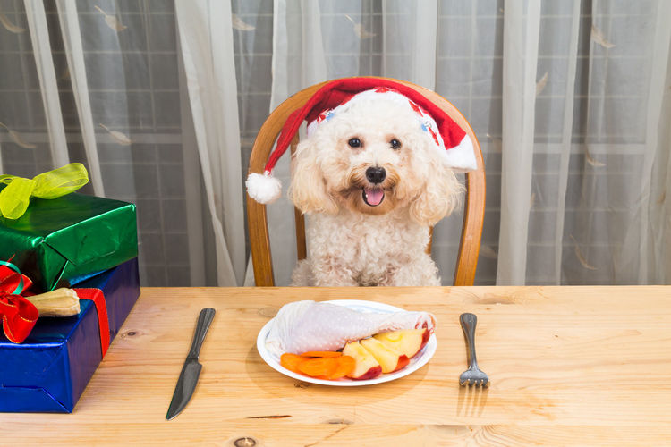 Concept of excited dog on Santa hat having delicious raw meat Christmas meal on table Animal, Apple, Background, Barf, Breakfast, Breed, Brown, Canine, Chair, Chicken, Christmas, Concept, Cute, Diet, Dinner, Dog, Drumstick, Eat, Excited, Food, Funny, Gifts, Happy, Healthy, Home, Hungry, Meal, Meat, Natural, Nutrition, Pet, Poodle, Pure, Ra