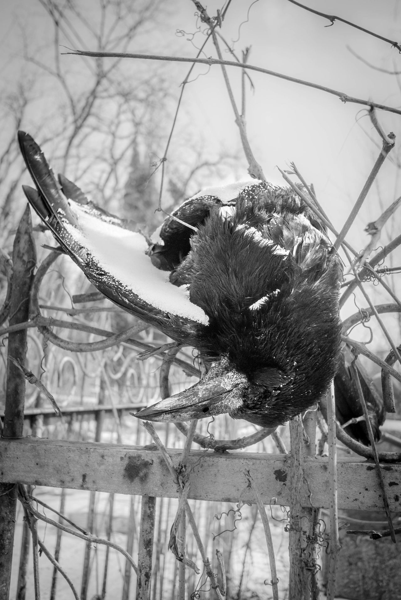 Animal Themes Bird Cemetery Covered In Snow Day Dead Edgar Allan Poe Edgarallanpoe Flight Discontinued Morbid Nature No People One Animal Outdoors Poe Poetry Rain Raven Sand Sky Stuck Tragic