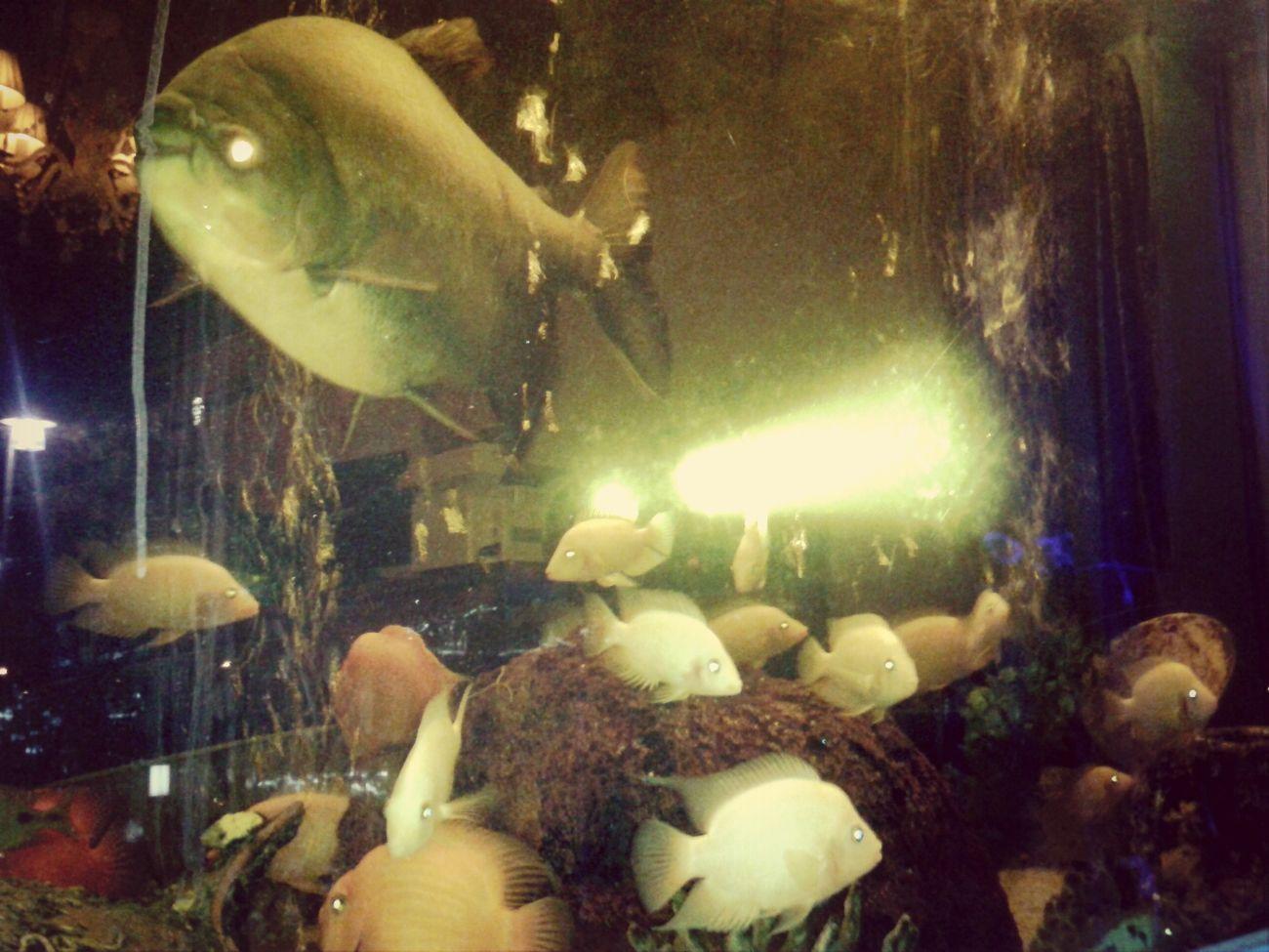 Akvaryum Balıkları Big Piranha:-)