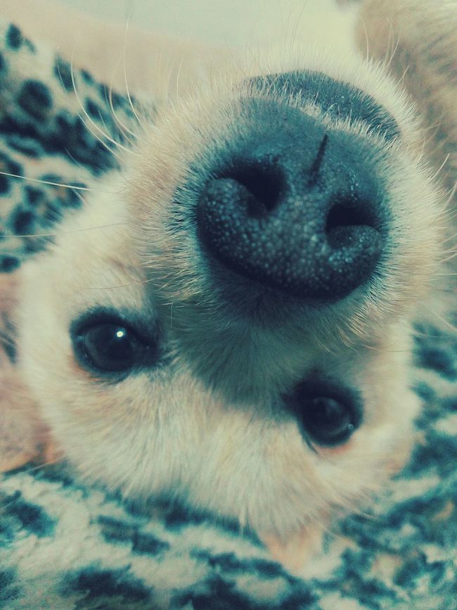 Ringo Dog❤ Lovedogs Loveanimals Letmetakeaselfie Selfietime Nose Check This Out Hello World Hi! Fun Animals Taking Photos