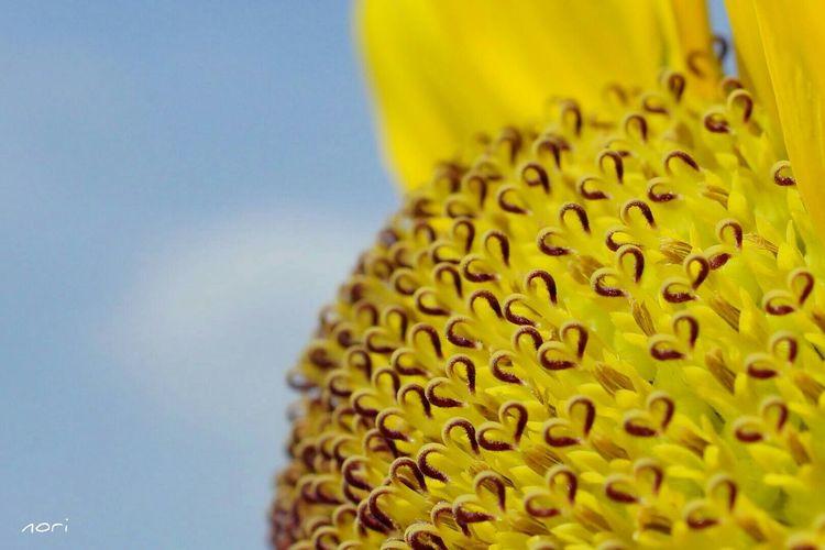 ひまわりの約束。~ Promise of Sunflower~ https://youtu.be/EWsvcWRPTuM マクロ Heart ❤ を 一緒に楽しみたい Vitamin Color イエローハッピー わちゃわちゃ の繋がる想い Kagoshima今年も見つける事が出来ました☺👌