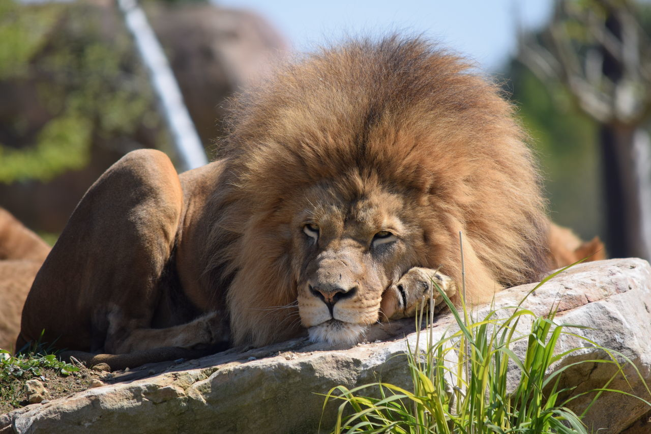 lion Animal Themes Animal Wildlife Animals In The Wild Beauval Close-up Day Feline King Lion Lion - Feline Lioness Lying Down Mammal Nature No People One Animal Outdoors Power Relaxation Safari Animals Strong Terre Terre Des Lions Zoology