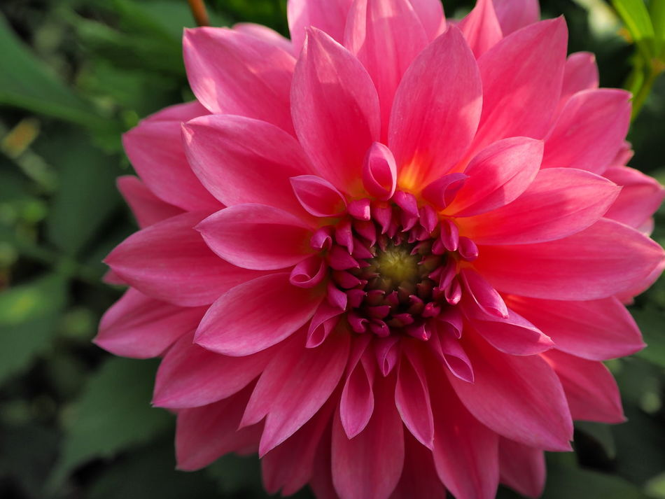 Flower Beautiful Colorful Pink Color Nature Single Flower Pink Close-up Flower Freshness Fragility Petal Flower Head Close-up Growth Beauty In Nature Single Flower Nature 花 形 ピンク 鮮やか