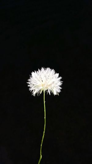 Black Background Dandelion Seed Flash Photography Fragility Flower Head Beauty In Nature Nature No People Close-up Freshness Night Nature Motog4
