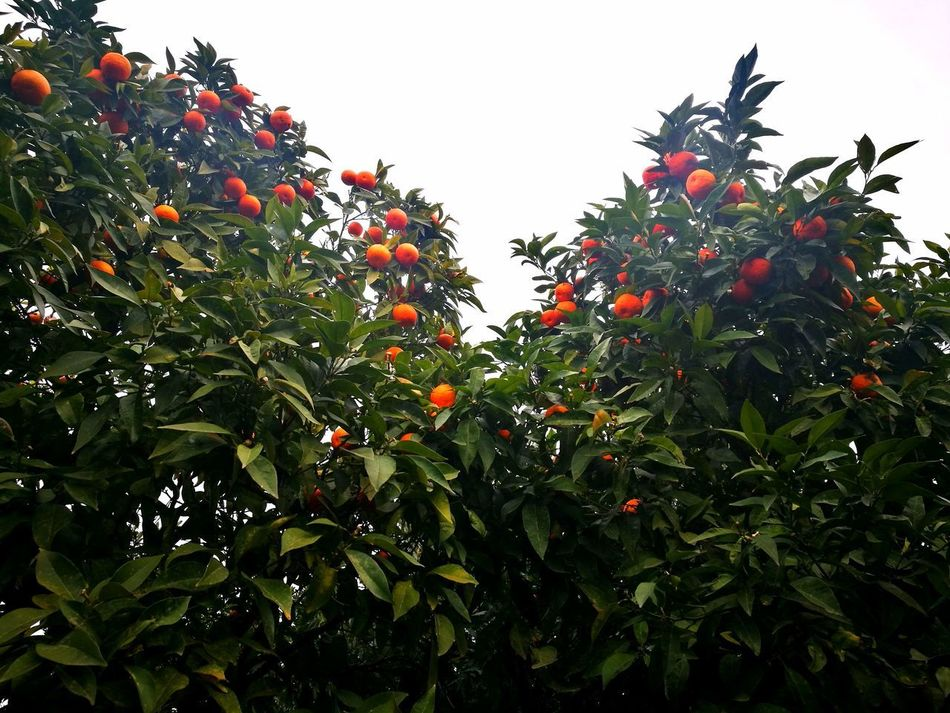 Fruit Tree Citrus Fruit Growth Nature Food Healthy Eating No People Orange Tree Outdoors Freshness Branch Close-up Day Pomegranate Rome, Italy The Week On Eyem Orange Color Orange - Fruit Orange Tree And Leaves Orange Trees Citric Tea Citrics