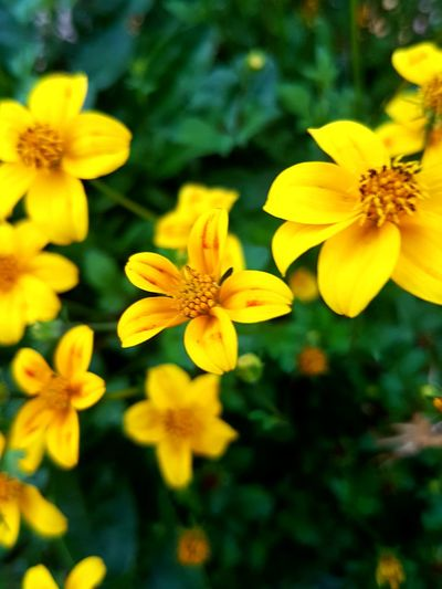 Flower Yellow Fragility Plant Petal Nature Beauty In Nature Day Outdoors Freshness Flower Head Growth Beauty No People Close-up