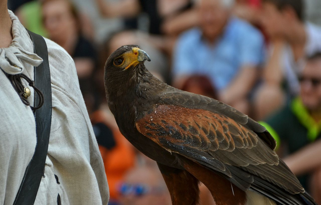 Giostra Cavalleresca Sulmona Sulmona Abruzzo - Italy Visit Italy Falcon Falconry Falconer Falcone Falconieri Corteo Storico Historical Historical Event Animal Colours Of Life Showcase August Festival Fever