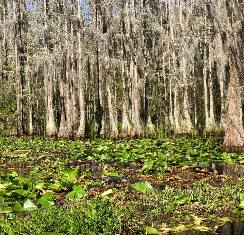Baby Alligators BabyGators Nature Growth Beauty In Nature Tree Trunk Forest Tranquility Tree Scenics No People Non-urban Scene Outdoors Tranquil Scene Green Color Day Grass Water Okefenokee National Wildlife Refuge Waterlillies