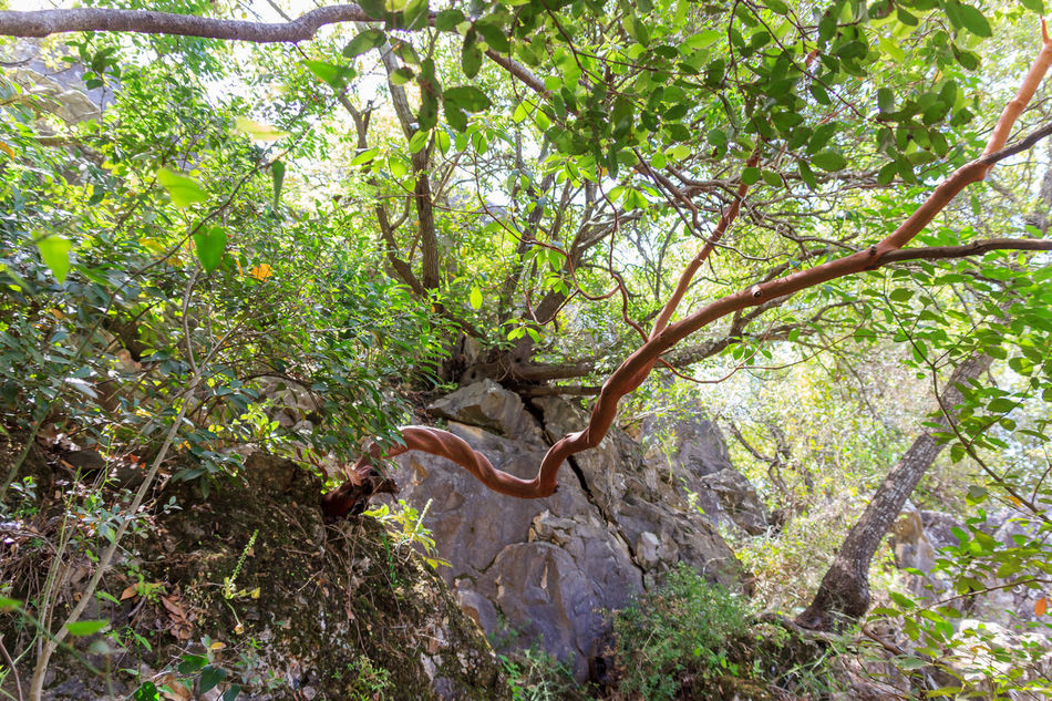 twisted strawberry tree - Arbutus andrachne - grows on the hillside in the north of Israel Backgrounds Bent Branch Color Curve Forest Gardens Grass Green Green Color Growth Israel Landscape Landscapes Monfort Nature Nature No People Park Plants Root Tree Tree Twisted